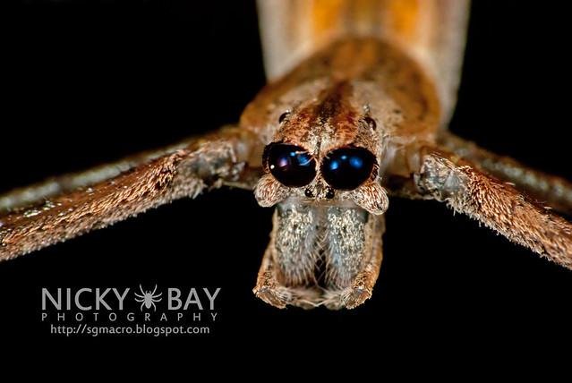 Net-Casting Spider (Deinopidae) - DSC_8750
