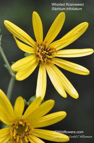 Whorled Rosinweed - Silphium trifoliatum by USWildflowers, on Flickr
