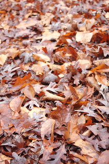 Leaves of Hickory & Oak
