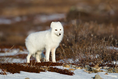 Arctic Fox searches the tundra at Churchill, Manitoba 2084