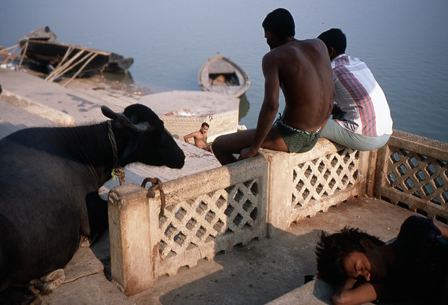 Ganda, Varanasi, India - Animals in Streets