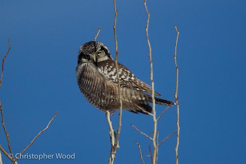 bird minnesota animal us owls stlouiscounty northernhawkowl sturniaulula