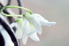 orchid den ise x sachi 070