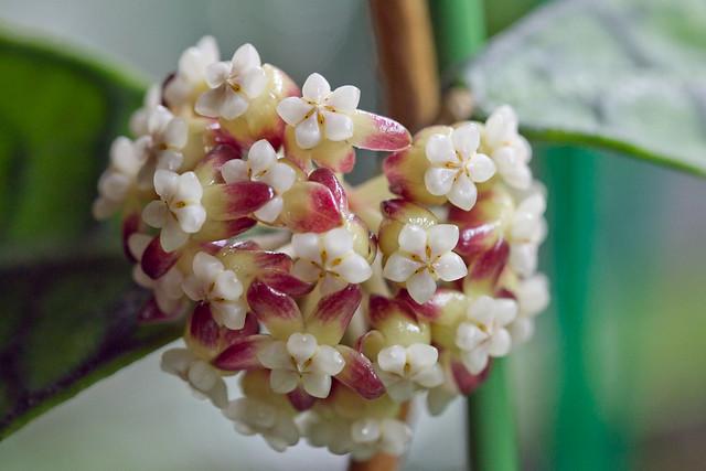 Hoya sp. Kalimantan (IML 1168)