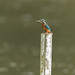 Kingfisher (Alcedo atthis) by Steven Whitehead