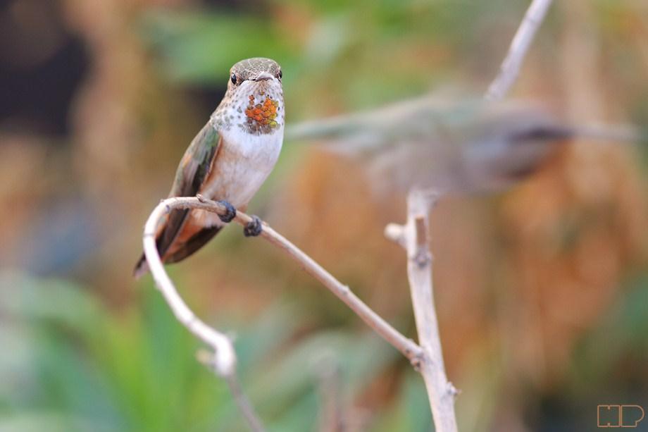 Allen's Hummingbird 101112-2