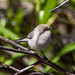 Small photo of American Bushtit (Psaltriparus minimus)