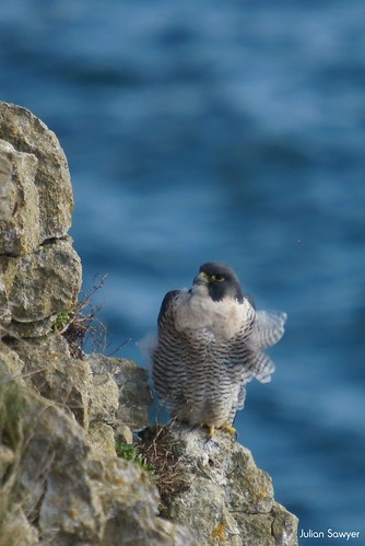 Twitcher Watching by julian sawyer - Purbeck Footprints