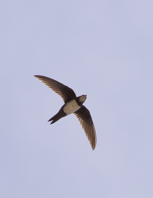 Alpine swifts backlit