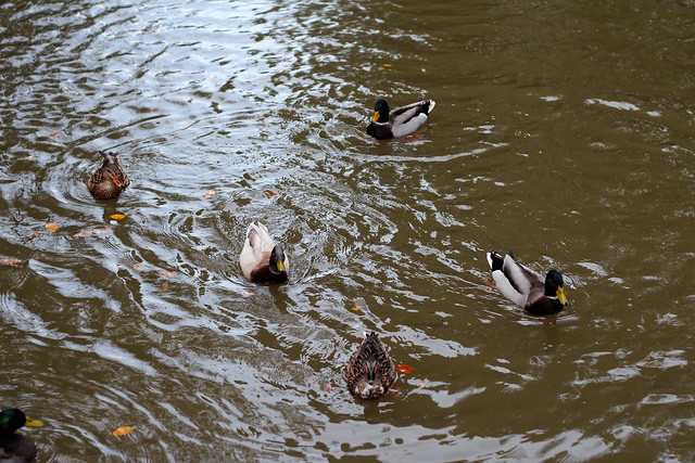 ducksoct
