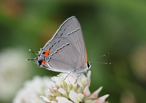 butterfly gray northcarolina clover hairstreak richmondcounty strymonmelinus grayhairstreak