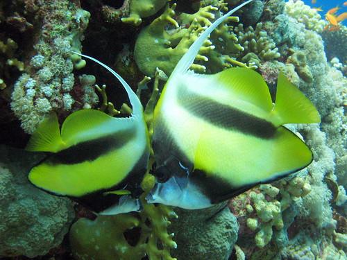 Poisson-cocher de Mer rouge de Plongez-Pépère, sur Flickr