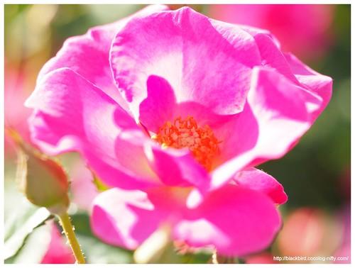 Autumn rose #05