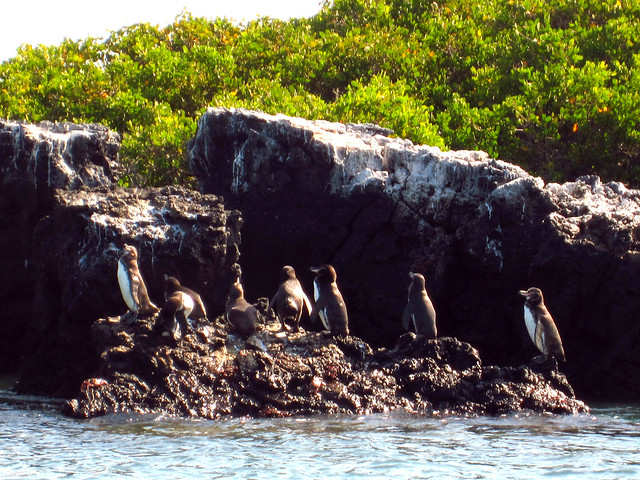 Penguins in the Galapagos