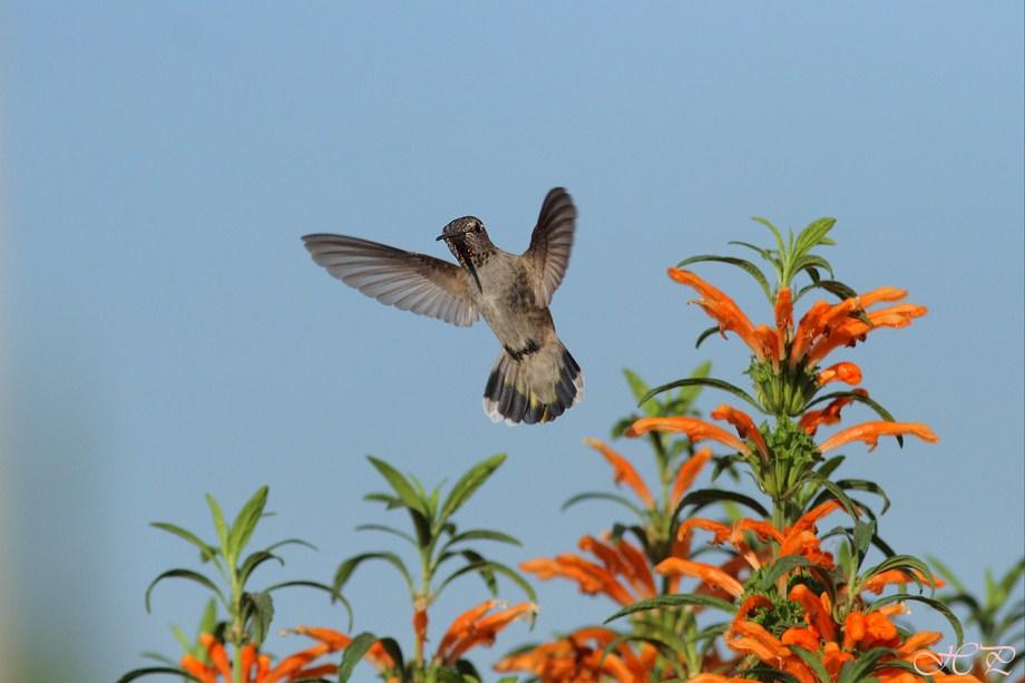 Anna's Hummingbird 102012