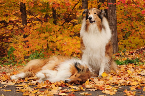 Our rough Collie Boys, Buddy and Zack, Bayfield, WI by sylvia1sam