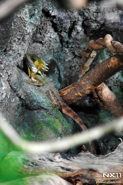 WILD LIFE Sydney Zoo boyds dragon