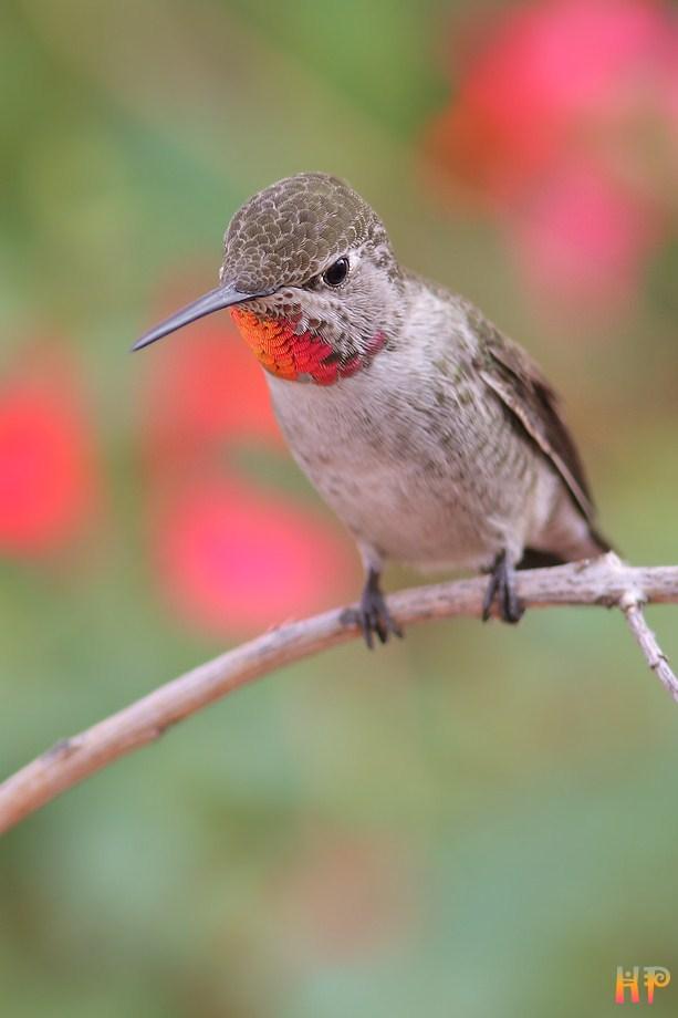 Anna's Hummingbird 102212