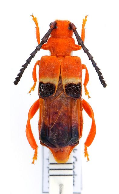 Erythraenus borneensis