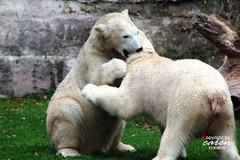 Eisbären Vera, Felix, Aleut & Gregor 2012_10_21