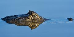Reflected caiman