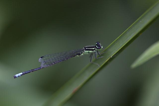 damsel fly2