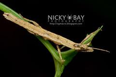 Stick Insect (Phasmatodea) - DSC_7965