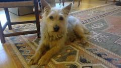 australian silky terrier(0.0), cairn terrier(0.0), airedale terrier(0.0), dog breed(1.0), animal(1.0), dog(1.0), pet(1.0), norfolk terrier(1.0), glen of imaal terrier(1.0), norwich terrier(1.0), lakeland terrier(1.0), welsh terrier(1.0), irish terrier(1.0), australian terrier(1.0), west highland white terrier(1.0), carnivoran(1.0), terrier(1.0),