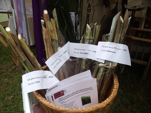 ILRI Napier display at KARI event