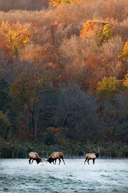 Fall Elk Rut