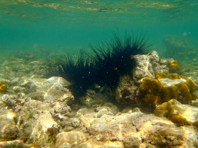 A sea urchin bridge