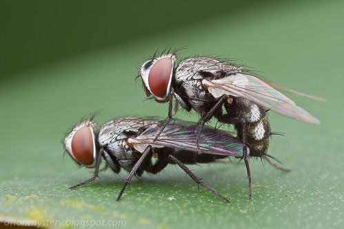 A mating pair of flies (Diptera). <i>Metopia (Sarcophagidae)</i>. <i>M. argyrocephala </i>- IMG_9573 copy