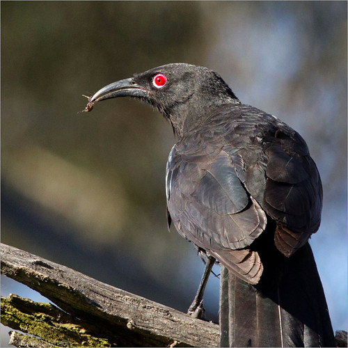 White-winged Chough's eye