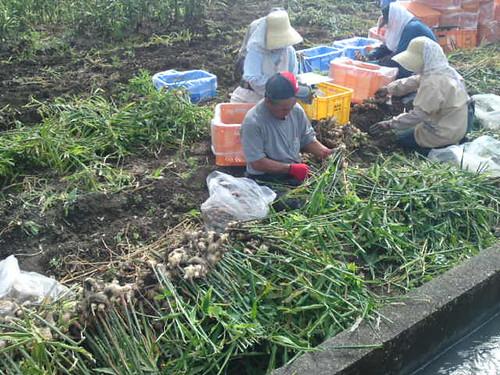 Harvesting ginger (Kochi Pref.)