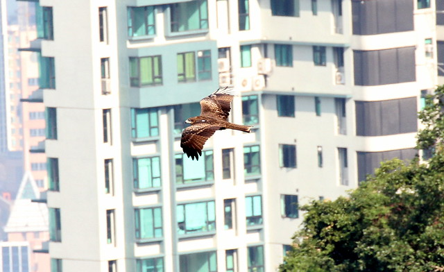 Black Kite flying past Hong Kong city buildings
