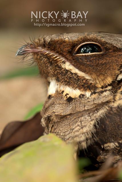 Nightjar (Caprimulgidae) - DSC_7669