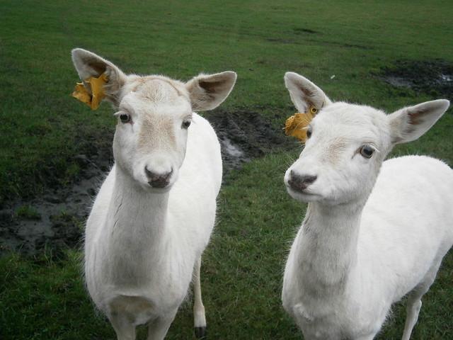 A Pair of Goats!