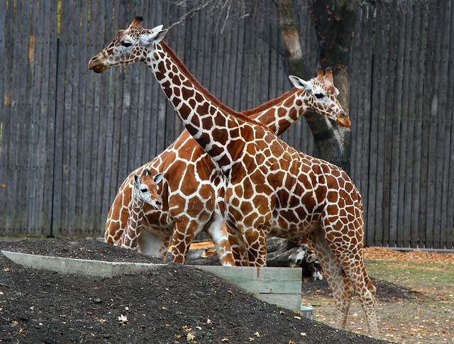 Baby Giraffe and Parents