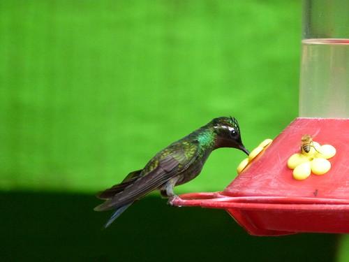 Selvatura Park - hummingbirds - 1