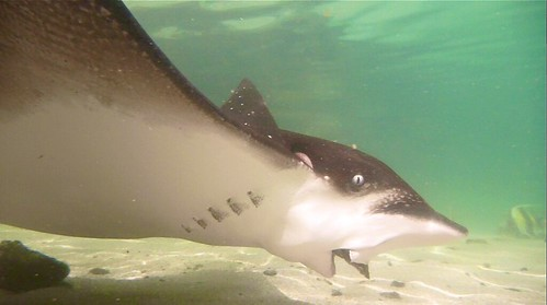 Eagle Ray at Play