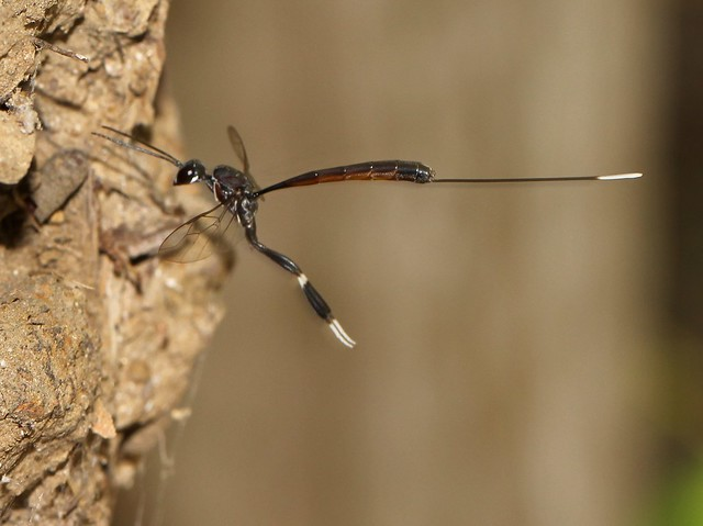 Wasp Gasteruptidae 6378