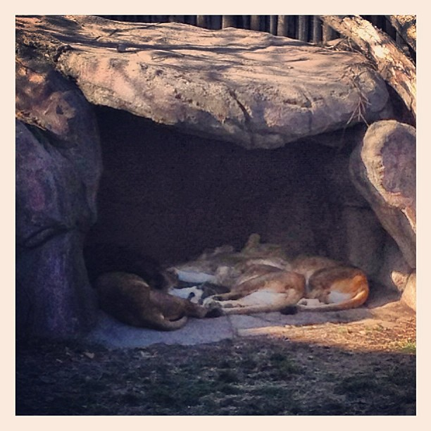 Lions spooning. Really. The one has her arm around the other one!  @clemetzoo #zoo #lion #happyincle