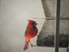 atlantic canary, animal, perching bird, red, fauna, cardinal, beak, bird,