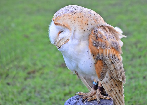 Barn Owl 1 by birbee