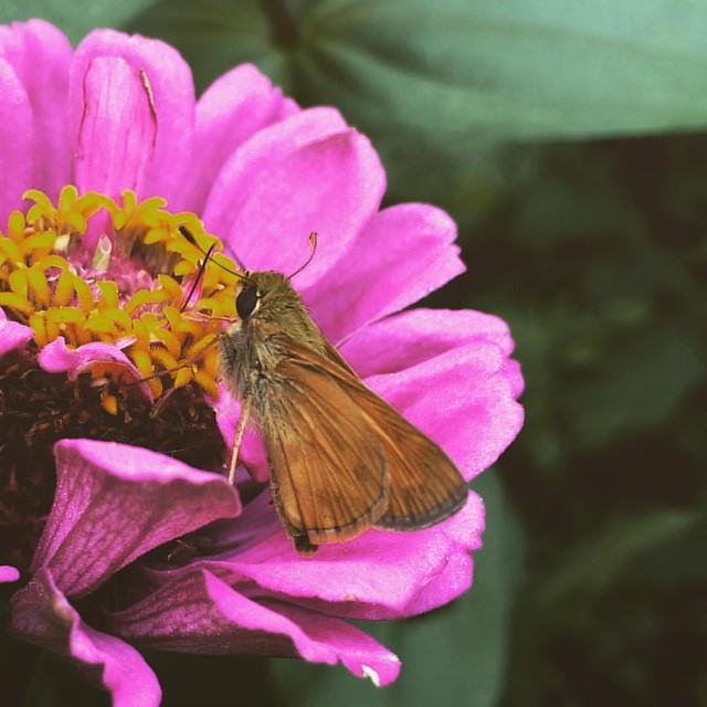 Hobomok skipper #skippers #butterfly #butterflies #garden #patiogarden #zinnias #zinnia #hobomokskipper
