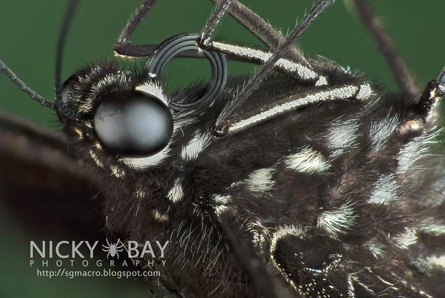 Common Mormon (Papilio polytes romulus) - DSC_8585