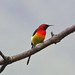 Small photo of Mrs Gould's Sunbird (Aethopyga gouldiae)