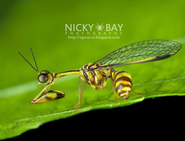 Mantisfly (Mantispidae) - DSC_8187