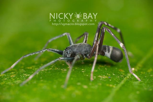 Ant-like Sac Spider (Corinnomma severum) - DSC_7904