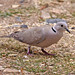 Small photo of African Collared Dove (Streptopelia roseogrisea)